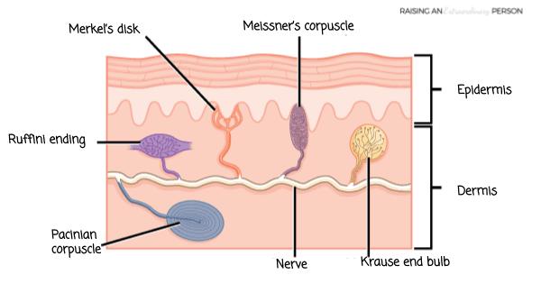 Types of Tactile Receptors