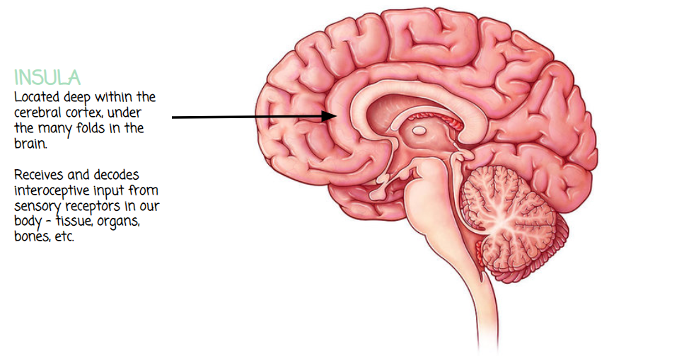 Diagram of the Insula, where its located in the brain and how it impacts interoception.
