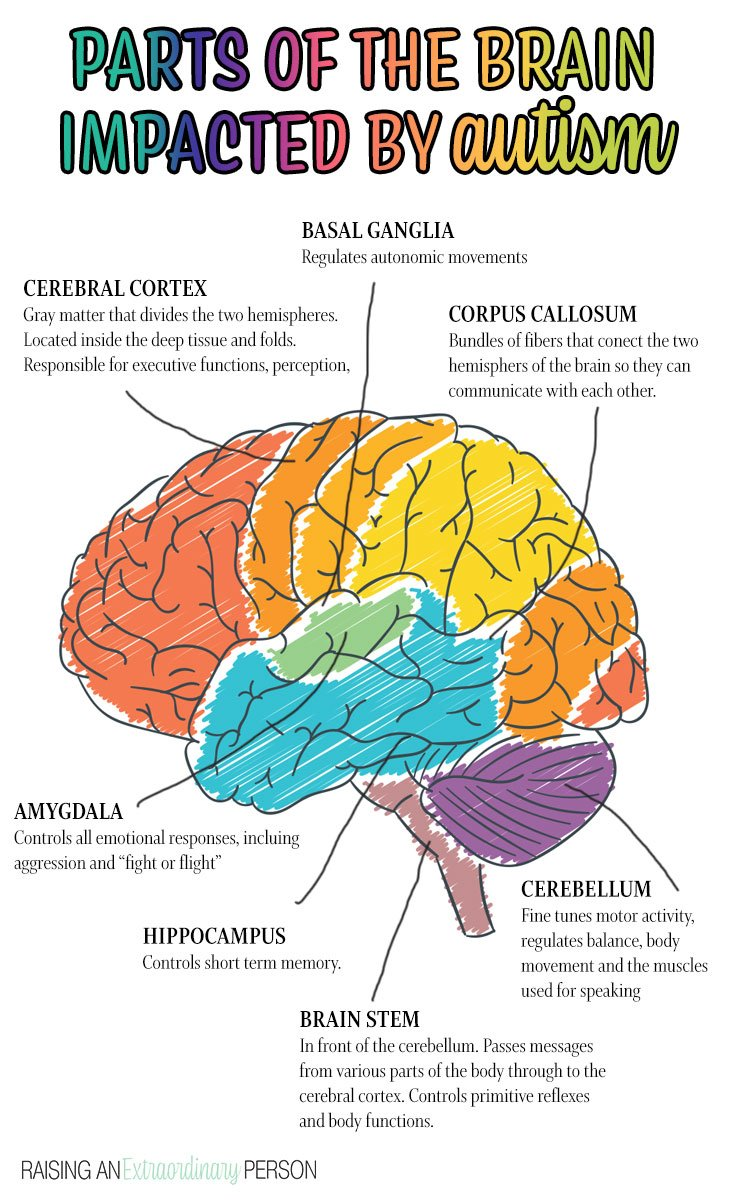 The parts of the brain impacted by autism - overview and diagram of brain.