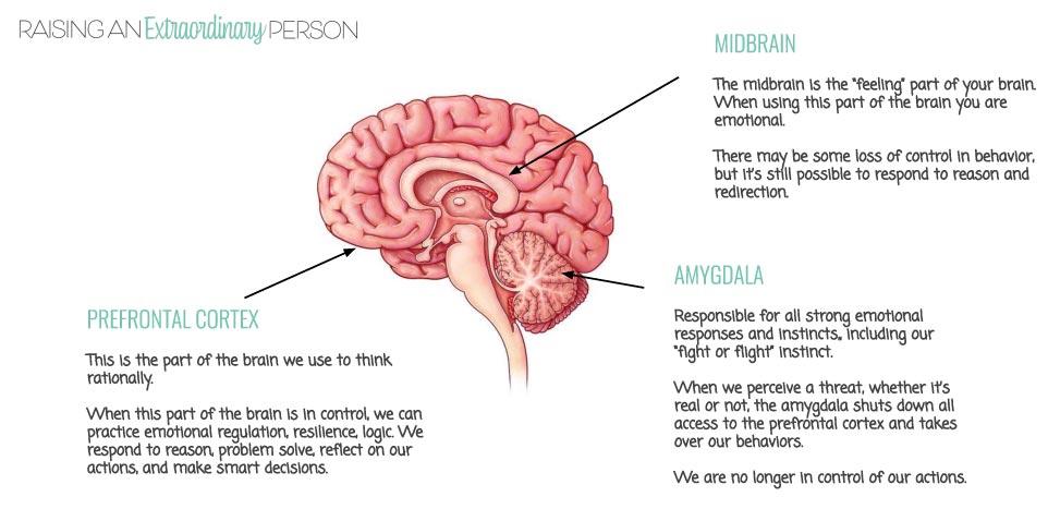 The regions of the brain - prefrontal cortex, midbrain, and amygdala.